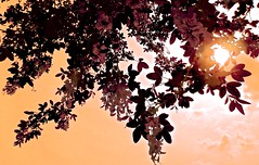 Antique Sun (Pufalump) Tags: pink trees light sky sun flower colour tree nature floral leaves clouds focus warm dof blossom pov antique sony details hues underneath tones laburnum