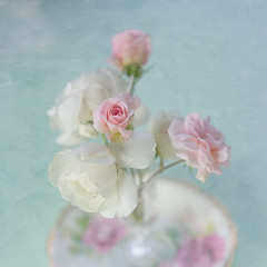 Remembering... (borealnz) Tags: pink flowers roses white focus soft pretty plate delicate cecilebrunner iceburgroses
