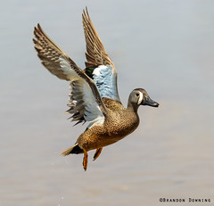 Blue-winged Teal (Brandon Downing) Tags: light bird water animals canon outdoors duck spring wings colorado teal wildlife flight feathers
