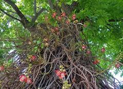 Cannonball tree ( Couroupita guianensis ) (Helenɑ) Tags: flowers flower tree green garden florida miami exotic tropical botanic trunck couroupitaguianensis cannonballtree lecythidaceae clusteredleaves