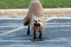 Good Morning (marylee.agnew) Tags: red urban cute nature animal wow wildlife yawn canine stretch fox claws