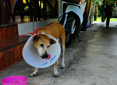,, The Worm ,, (Jon in Thailand) Tags: pink dog tongue nikon cone alien worm nikkor conehead k9 d300 theworm snakebite 175528 littledoglaughedstories