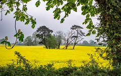 island of trees (dgmann11) Tags: trees field landscape herefordshire rapeseed