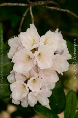 rhododendron sp. (MrTDiddy) Tags: flowers plant zoo sp rhododendron antwerp antwerpen bloemen zooantwerpen