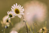 Face to face ((Ruud) Reddingius) Tags: daisy daisies margriet bloem bloei warmte ef100400mmf4556lisiiusm ijsseloord arnhem canoneos760d veld field bedrijventerrein