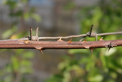 Similar, but different (Aleksandr Gareev) Tags: wire blackberry barbed
