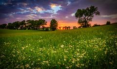 Sunset over the green fields (AdMixStar) Tags: sunset landscape light sunlight outdoore flower sky clouds colorful summer nikond800 ermedin islamcevic scandinavia north fyn denmark