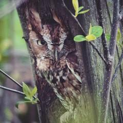 screech owl (jjsnyder5) Tags: bird square woods birding raptor squareformat owl aden iphoneography fz200 instagramapp uploaded:by=instagram