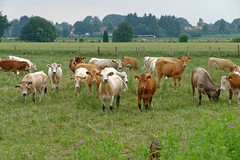 Herdentrieb - 2016 - 0004_Web (berni.radke) Tags: cows bovine khe rinder herde herdinstinct herdentrieb