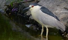 black-crowned night heron (sttweston) Tags: fz200 e17ed
