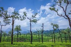 Tea Plantation , Valparai (Premnath Thirumalaisamy) Tags: green nature clouds landscape cloudy tea teaestate valparai greenary manampalli ghatdrive