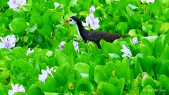 Water Hen amongst Water Hyacinth! (Raj the Tora) Tags: wild lake bird nature water fauna pond flora tank wildlife rail waterbird aves rails aquatic amaurornis phoenicurus waders avian hyacinth whitebreastedwaterhen amaurornisphoenicurus waterhen waterbirds avifauna crake crakes waterhyacinth sacredpond whitebreasted eichhorniacrassipes eichhornia crassipes waterbody templetank genusspecies templepond whitebreasts sacredtank waterhens aviflora wateraves pondhyacinth aveonwater