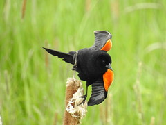 Red-winged Blackbird (RonG58) Tags: pictures new trip travel light usa color bird nature birds fauna geotagged photography us photo spring flora nikon day image photos live wildlife birding maine picture images photograph coolpix augusta digitalcamera migration tori exploration habitat photooftheday picoftheday redwingedblackbird agelaiusphoeniceus breedingplumage birdwalk passerines loiseau natureexploration elpjaro dervogel rong58 nikoncoolpixp900 maineveteranshomes
