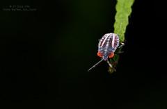 Lychee stink bug nymph, in Sai Kung, Hong Kong. (after_the_light) Tags: macro animal insect hongkong wildlife sony 90mm saikung a7ii lycheestinkbug tessaratomapapillosa sonyalpha lungmei a72 tessaratoma lycheestinkbugnymph sel90m28g fe90mmf28macrogoss