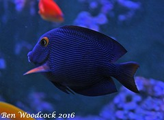 Kole Tang (SausageArm) Tags: fish water aquarium nikon marine aqua underwater tank stripes salt stripe salty aquatic reef striped reefs tang aquatics kole d90 18105mm
