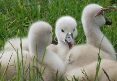 Laughing cygnet (Elisa1880) Tags: bird netherlands leiden swan nederland mute vogel cygnus knobbelzwaan olor cronesteyn polderpark