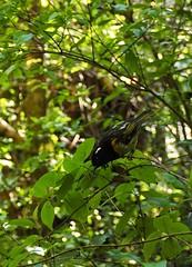 Hihi (Stitchbird) (dougnewdick) Tags: bird animal hihi zealandia stitchbird