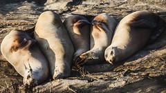 Zzzzzz... -[ HSS ]- (Carbon Arc) Tags: ocean sea mammal outdoor sleep cliffs seal snooze rest aquatic sealion pinniped sliderssunday