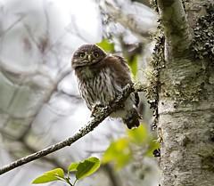 northern pygmy-owl (hawk person) Tags: owl juvenile northernpygmyowl glaucidiumgnoma brancher