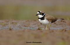 Little Ringed Plover (Jawad_Ahmad) Tags: pakistan nature beautiful photography natural little plover ringed flicker naturephotography sialkot jawads