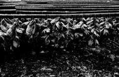lofoten (Yaman Konuralp) Tags: nikon nikonf film 35mm norway lofoten fish diy rodinal hc110 r09 standdevelopment travel ais nipponkogaku nippon japan arebureboke grain noir contrast nature agfa apx