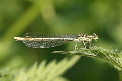 White-legged Damselfly  Platycnemis pennipes (Roger Wasley) Tags: dragonflies dragonfly britain british westmidlands damselflies whiteleggeddamselfly platycnemispennipes