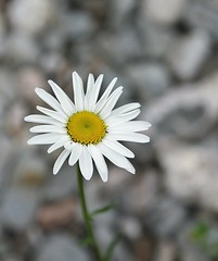 Daisy in the river rock (Sandra Y Moss) Tags: white lake newfoundland rocks daisy gander