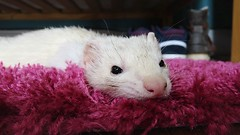 The Ponder (jose_xp) Tags: nose white restinpeace resting tired cute pet thought ponder thinking think vibrant rug animal ferret