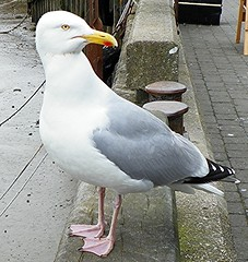 Watchful (Martha-Ann48) Tags: bird herring gull harbour bridlington east yorkshire plumage beak beady eye pink feet grey white feathers red dot