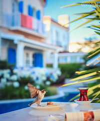 Mr. Sparrow (easyphotography) Tags: blue color green bird pool breakfast canon turkey happy fly colorful tea turkiye sparrow enjoy ay izmir ku afternon