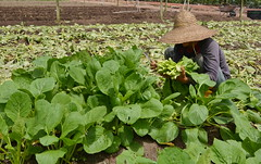 vege farmer (Lim SK) Tags: vegetable