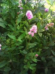 . Blossom (lubovhoney) Tags: pink flowers summer flower green walking flowerpower picturethis