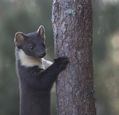 Scotland (richard.mcmanus.) Tags: scotland pinemarten blackisle scottishhighlands animal mammal richardmcmanus mcmanus britishwildlife gettyimages wow