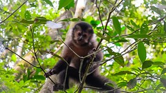 Capuchin Monkey in Iguazu National Park (sakhitasharma) Tags: travel latinamerica southamerica argentina animals photography wildlife iguazu iguazufalls travelphotography iguazunationalpark sakhitasharma