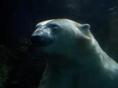 I Float My Own Boat, Thank You. (kfopsen) Tags: bear canada animal winnipeg manitoba polarbear assiniboinepark assiniboineparkzoo