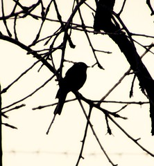 the souls in the trees (CatnessGrace) Tags: trees plants tree bird nature monochrome birds artistic branches silhouettes dramatic artisticphotography birdsilhouettes