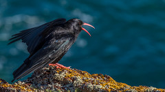 Chough ( Pyrrhocorax pyrrhocorax ) EXPLORED (waynedavey67) Tags: uk wild bird nature wales canon outside outdoors singing wildlife calling pembrokeshire chough rspb pyrrhocoraxpyrrhocorax skokholm wildandfree 7dmkii 300mmlf28