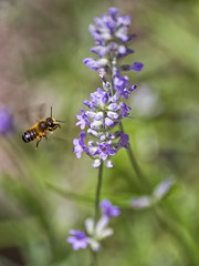 Just Working ... (Ivo Angelov) Tags: bee lavandula bokeh insects instantfave fly beautiful plant flowers floret flores kavarna bulgaria      work working pentax k5 ii sigma 70300 apo macro photography photos photoshop goldenphotographer ivoangelovphoto