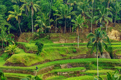 Tegallalang Rice Terraces (DonPepper Photography) Tags: worldheritage green outdoor wood palmtree palm farmer unesco vacation ubud bali indonesia hot rice summer terraces nature landscape travel light wildlife 2016 2015 sun beautiful old water plant blume sonne outdoors mountain orange explore wetter forest color exposure beauty natural panorama sommer amazing new landschaft trees closeup outside sunlight explored colour breathtaking beruhigend colourfulness colours excellent fz1000 farben harmony lumix leica wonderful panasonic panasonicfz1000 holiday
