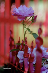 """Rose"" tout simplement ... (clairetresse) Tags: france flower home rose grille fer portillon forg nordstre"