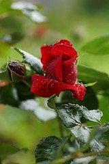Rose (3) (Ellenore56) Tags: flowers light red inspiration plant flower color colour detail reflection rot floral beauty rain weather rose garden botanical licht perception drops flora emotion magic redrose pflanze perspective bloom raindrops droplet imagination moment rambler blume blte farbe reflexion garten regen wetter perspektive odor reflektion tropfen flavour schnheit schne duft florescence floribunda larose botanik regentropfen kletterrose trpfchen faszination rosenblte roterose rosenrot laflor sichtweise bltenzauber pflanzenwelt rosenduft ellenore56 sonyslta77 augenlick magicofflower 21062016