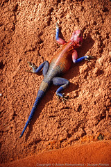 Male Agama Lizard (3scapePhotos) Tags: africa agama tanzania animal animals continent lizard male reptile safari serengeti vertical