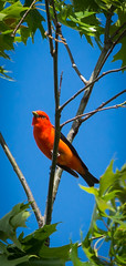 Scarlet Tanager (Wild Birdy) Tags: mn usa aba hubbard minnesota northwoods migration migratory tanager pirangaolivacea polivacea bird cute red scarlet adorable scarlettanager colorful bright