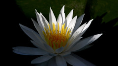 Morning Light (jrussell.1916) Tags: flowers summer nature yellow morninglight waterlily lakes illuminated canonef70200f4lis14tc