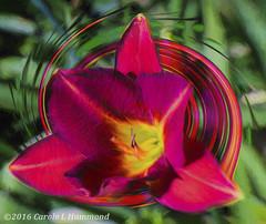 2016-06-26-_MG_1816CTIr (CarolesPhotoArt) Tags: painting twirl daylily