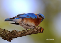 Eastern bluebird - Sialia sialis (Stoil Ivanov) Tags: eastern bluebird sialia geneva il fabyan forest preserve sialis