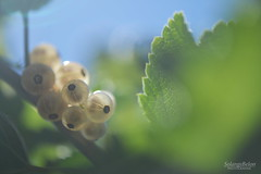 Groseilles blanches - White currants (Solange B) Tags: groseille currant blanche white fruit baies berries potager kitchen garden jardin récolte harvest nikon d800 105mm bokeh flou blur solangeb solangebelon