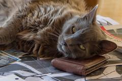 Fat Cat Taking Care of Your Wallet (ArneKaiser) Tags: hawaii knorfelchen knorretje knrfelchen maui tonyblair animals cat wallet