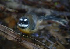 IMGP0170 Fantail shaking after bathing Zealandia Wellington NZ 03-07-16 (Donald Laing) Tags: new plants birds native zealand wellington sanctuary zealandia wwildlife