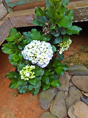IMG_20160512_103508 (Niki_Ta_1998) Tags: flower beauty manipur northeastindia chakpikarong charongching analvillage